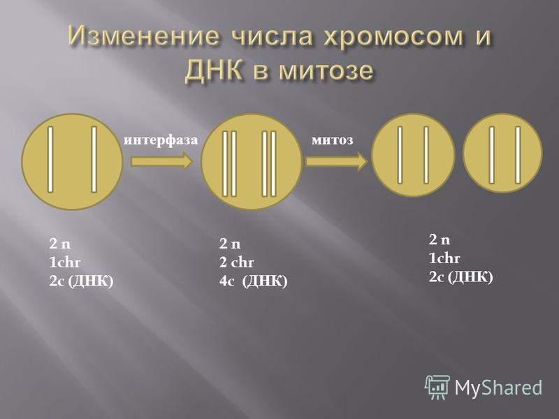 интерфаза митоз 2 n 1chr 2c ( ДНК ) 2 n 2 chr 4c ( ДНК ) 2 n 1chr 2c ( ДНК )