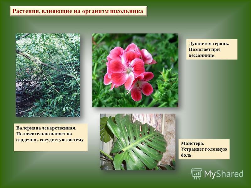 Валериана лекарственная. Положительно влияет на сердечно - сосудистую систему Растения, влияющие на организм школьника Душистая герань. Помогает при бессоннице Монстера. Устраняет головную боль