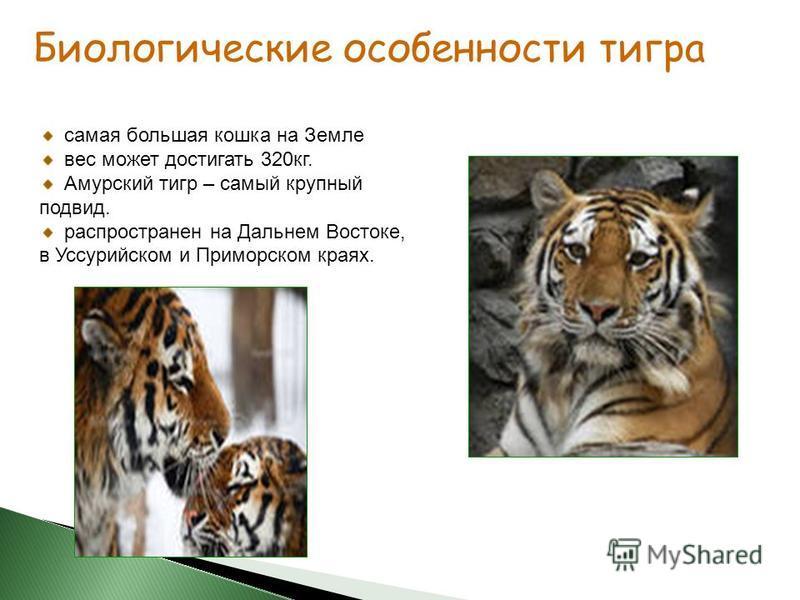 самая большая кошка на Земле вес может достигать 320 кг. Амурский тигр – самый крупный подвид. распространен на Дальнем Востоке, в Уссурийском и Приморском краях. Биологические особенности тигра