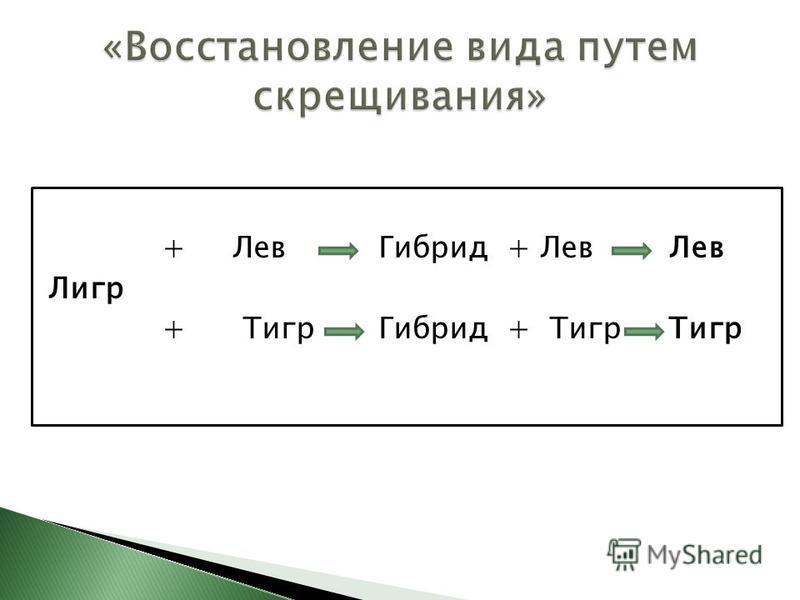 + Лев Гибрид + Лев Лев Лигр + Тигр Гибрид + Тигр Тигр