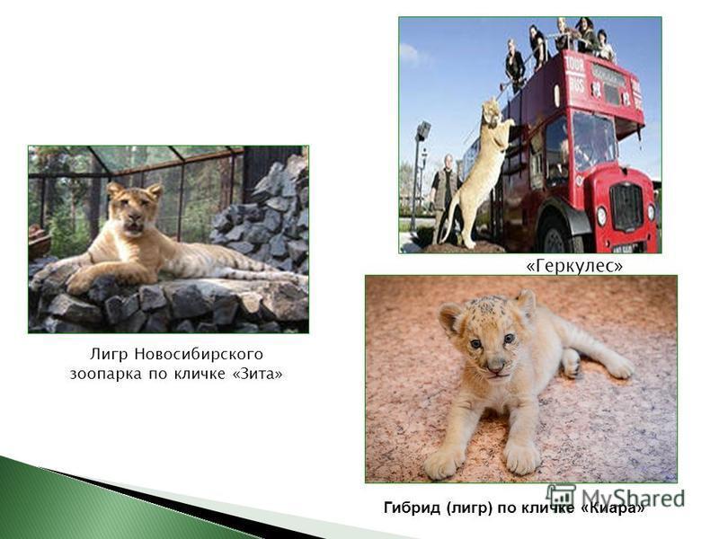 «Геркулес» Лигр Новосибирского зоопарка по кличке «Зита» Гибрид (лигр) по кличке «Киара»