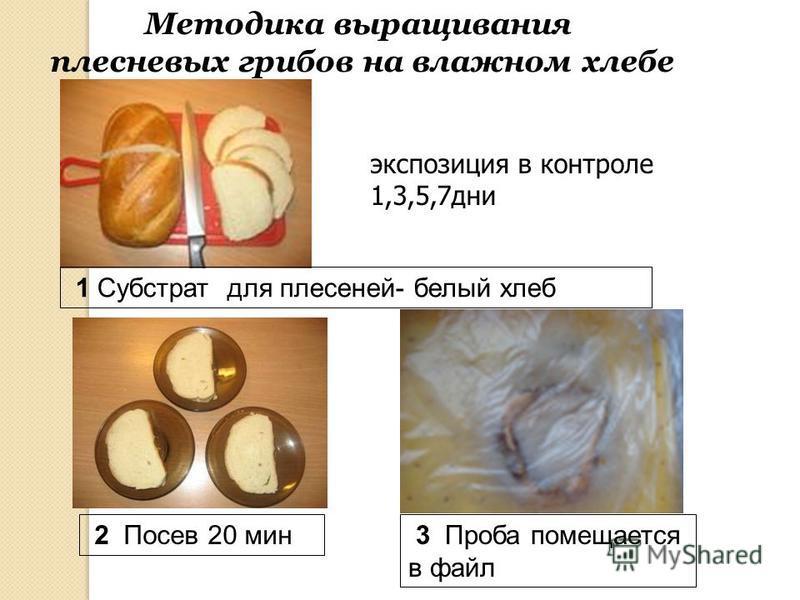 Методика выращивания плесневых грибов на влажном хлебе 1 Субстрат для плесеней- белый хлеб 2 Посев 20 мин 3 Проба помещается в файл экспозиция в контроле 1,3,5,7 дни