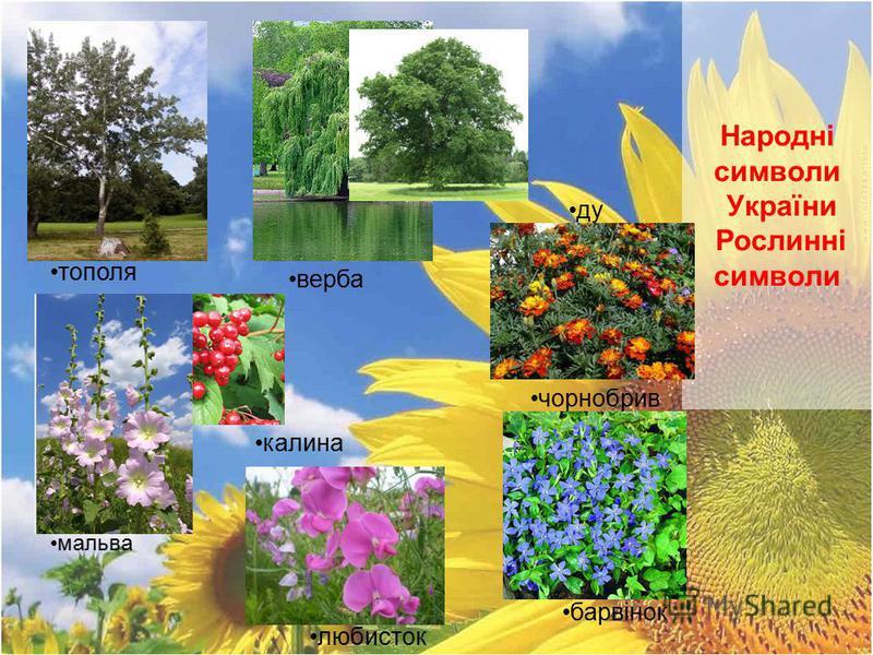 Народні символи України Рослинні символи верба калина любисток ду б чорнобрив ці барвінок тополя мальва