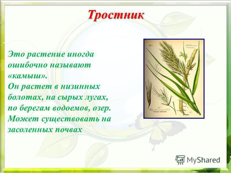 Тростник Тростник Это растение иногда ошибочно называют «камыш». Он растет в низинных болотах, на сырых лугах, по берегам водоемов, озер. Может существовать на засоленных почвах