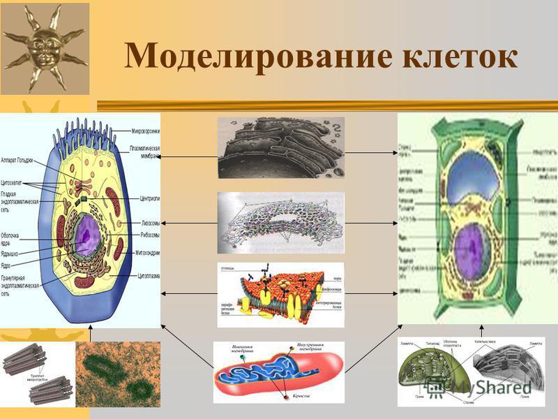 Моделирование клеток