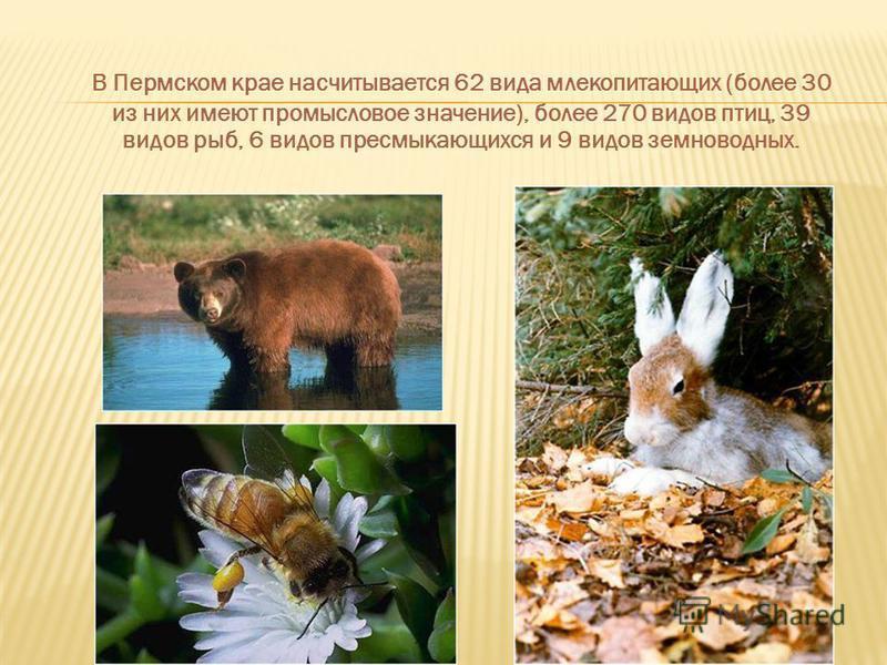 В Пермском крае насчитывается 62 вида млекопитающих (более 30 из них имеют промысловое значение), более 270 видов птиц, 39 видов рыб, 6 видов пресмыкающихся и 9 видов земноводных.