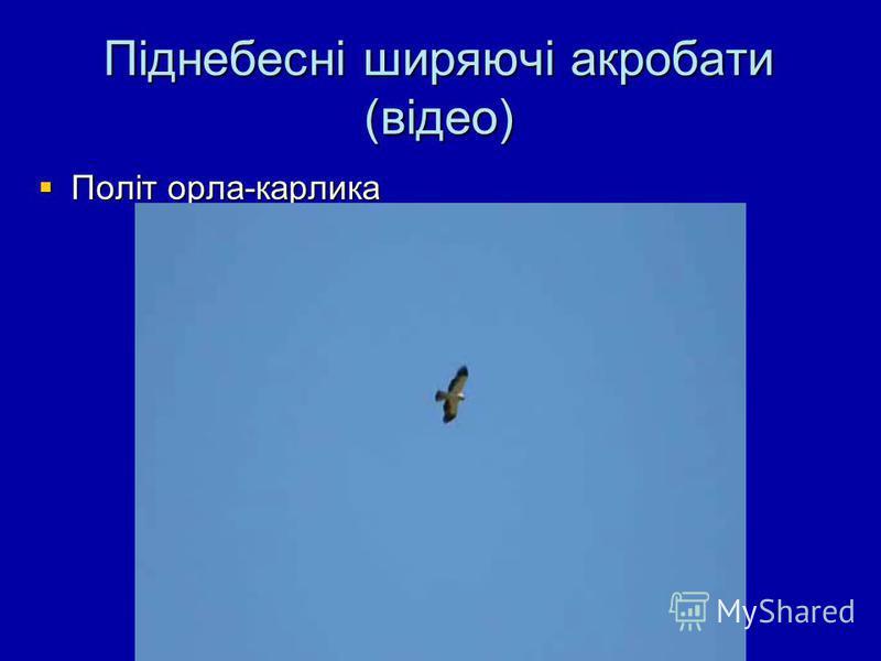 Піднебесні ширяючі акробати (відео) Політ орла-карлика Політ орла-карлика