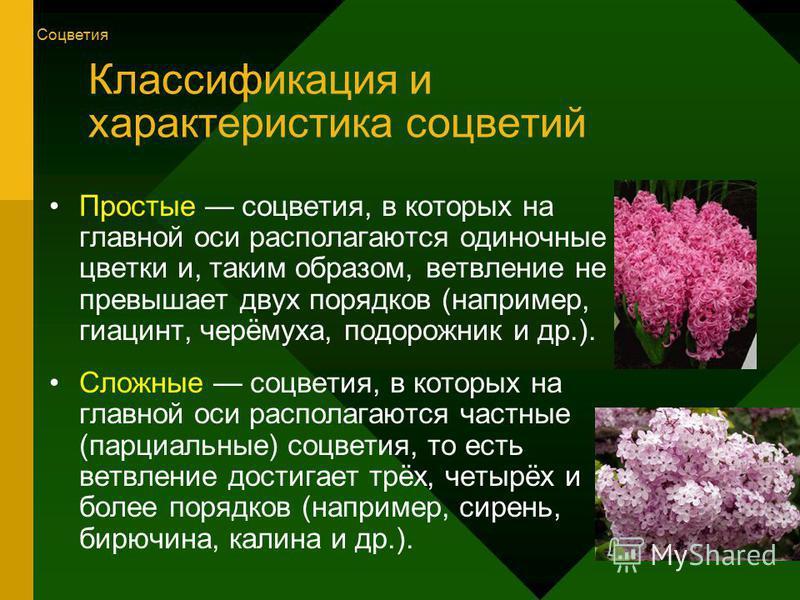 Классификация и характеристика соцветий Простые соцветия, в которых на главной оси располагаются одиночные цветки и, таким образом, ветвление не превышает двух порядков (например, гиацинт, черёмуха, подорожник и др.). Сложные соцветия, в которых на г