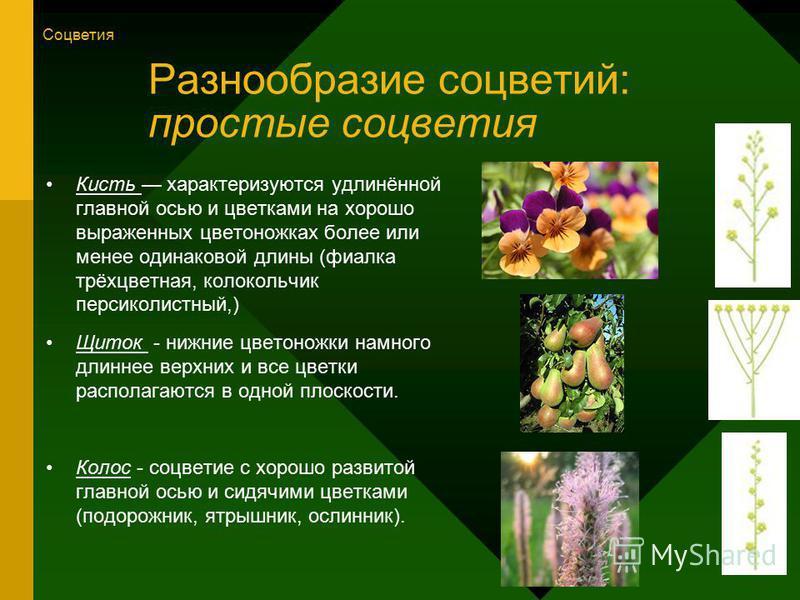 Разнообразие соцветий: простые соцветия Кисть характеризуются удлинённой главной осью и цветками на хорошо выраженных цветоножках более или менее одинаковой длины (фиалка трёхцветная, колокольчик персиколистный,) Щиток - нижние цветоножки намного дли