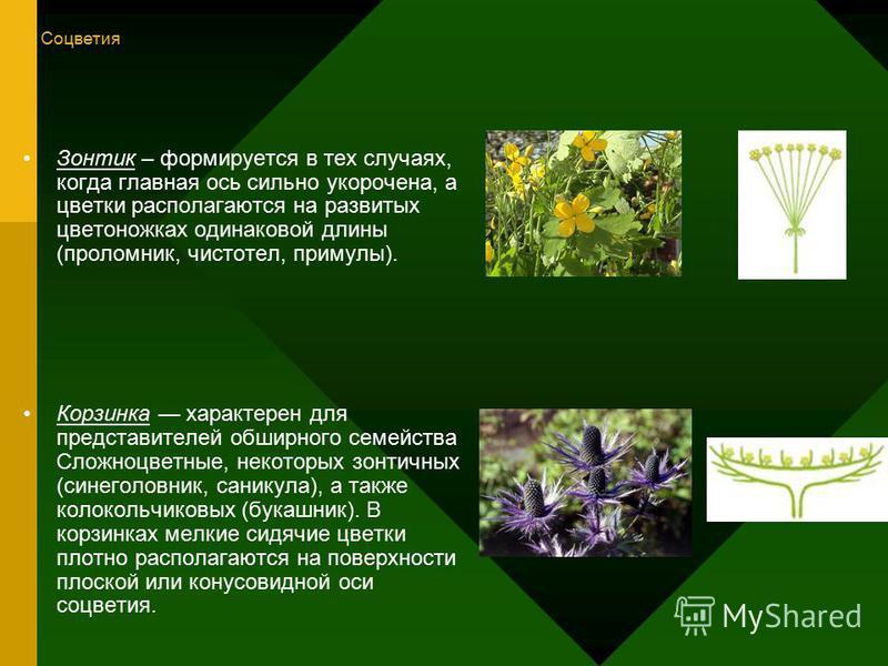 Зонтик – формируется в тех случаях, когда главная ось сильно укорочена, а цветки располагаются на развитых цветоножках одинаковой длины (проломник, чистотел, примулы). Корзинка характерен для представителей обширного семейства Сложноцветные, некоторы