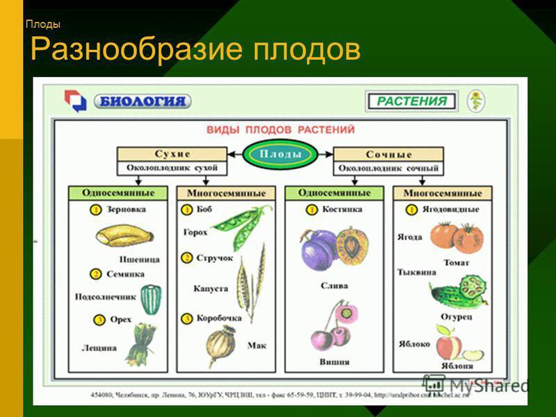Разнообразие плодов Плоды