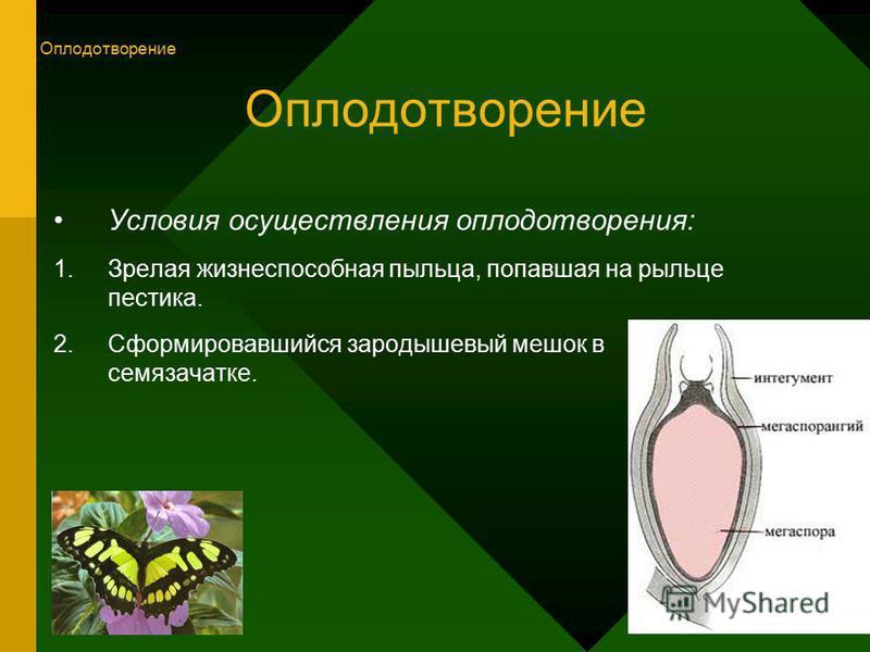 Оплодотворение Условия осуществления оплодотворения: 1. Зрелая жизнеспособная пыльца, попавшая на рыльце пестика. 2. Сформировавшийся зародышевый мешок в семязачатке. Оплодотворение