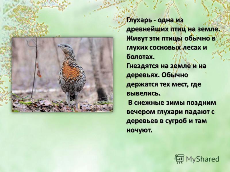 Глухарь - одна из древнейших птиц на земле. Живут эти птицы обычно в глухих сосновых лесах и болотах. Гнездятся на земле и на деревьях. Обычно держатся тех мест, где вывелись. В снежные зимы поздним вечером глухари падают с деревьев в сугроб и там но