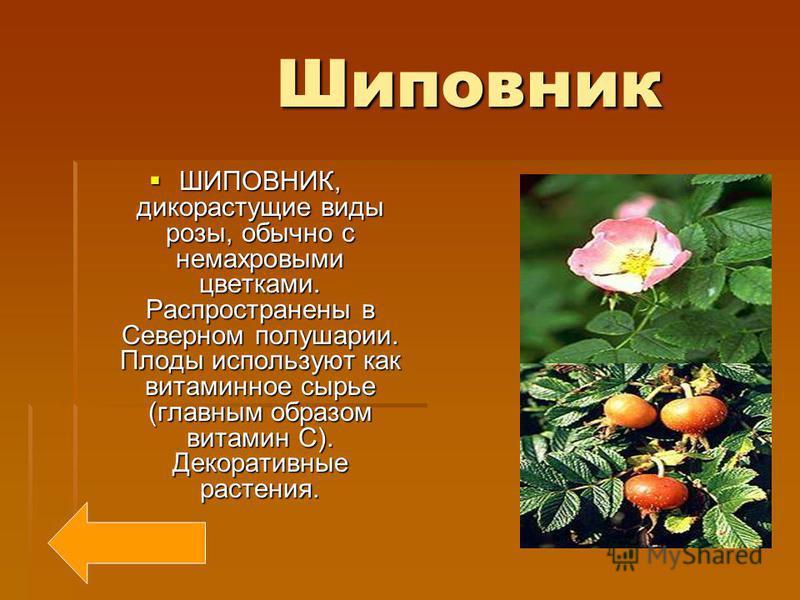 Мята Мята МЯТА, род многолетних трав семейства губоцветных. 20-25 видов, главным образом в умеренном поясе Северного полушария. Несколько видов (чаще мята перечная) в культуре как эфирномасличные и лекарственные растения.