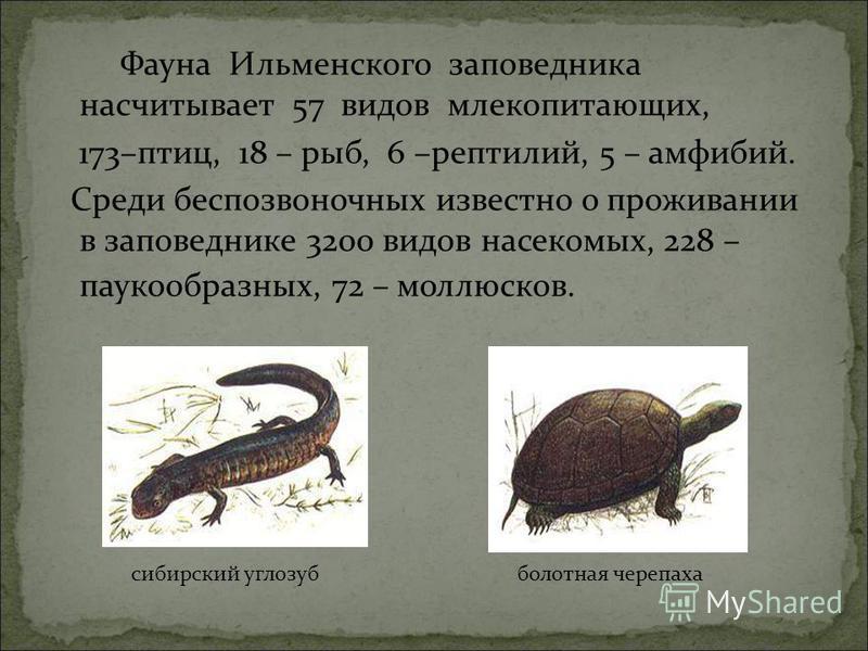 Фауна Ильменского заповедника насчитывает 57 видов млекопитающих, 173–птиц, 18 – рыб, 6 –рептилий, 5 – амфибий. Среди беспозвоночных известно о проживании в заповеднике 3200 видов насекомых, 228 – паукообразных, 72 – моллюсков. сибирский углозуб боло