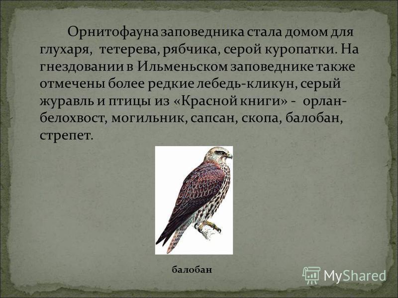 Орнитофауна заповедника стала домом для глухаря, тетерева, рябчика, серой куропатки. На гнездовании в Ильменьском заповеднике также отмечены более редкие лебедь-кликун, серый журавль и птицы из «Красной книги» - орлан- белохвост, могильник, сапсан, с