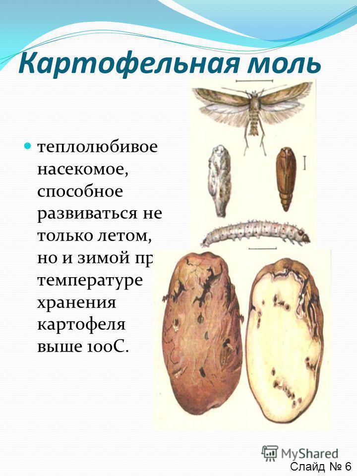 Картофельная моль теплолюбивое насекомое, способное развиваться не только летом, но и зимой при температуре хранения картофеля выше 10oС. Слайд 6