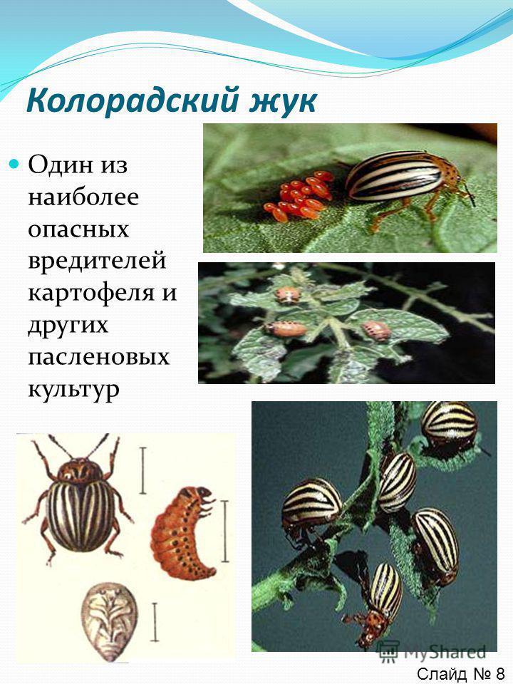 Колорадский жук Один из наиболее опасных вредителей картофеля и других пасленовых культур Слайд 8