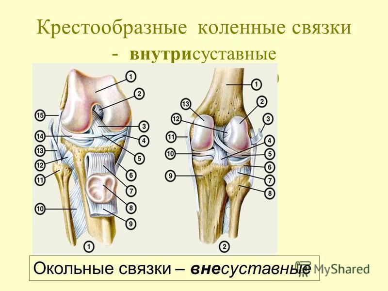 Крестообразные коленные связки - внутрисуставные (внутри капсульные) Окольные связки – внесуставные