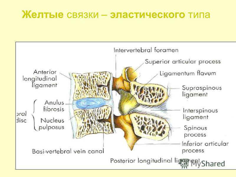 Желтые связки – эластического типа