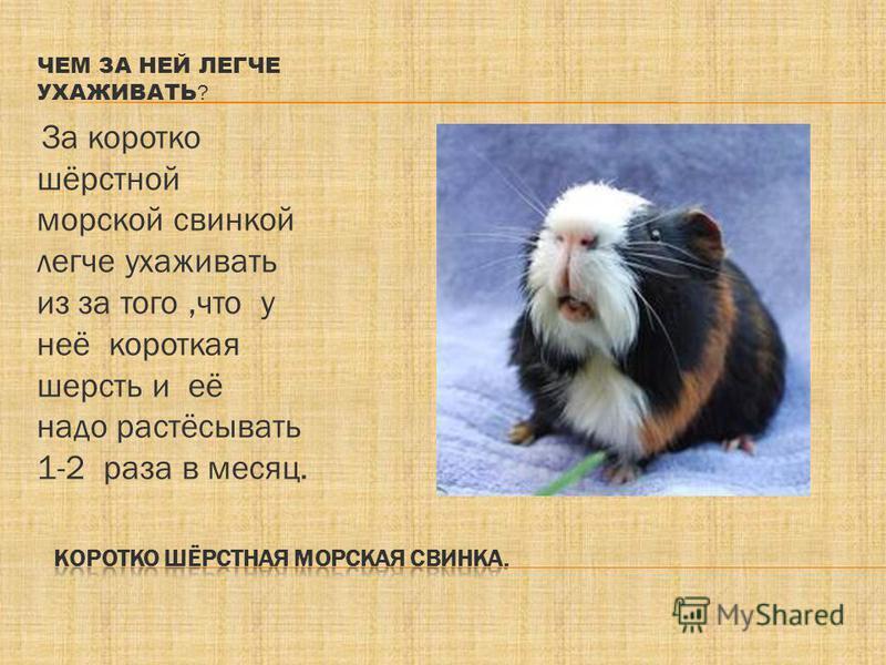 Как уход за морскими свинками в домашних условиях