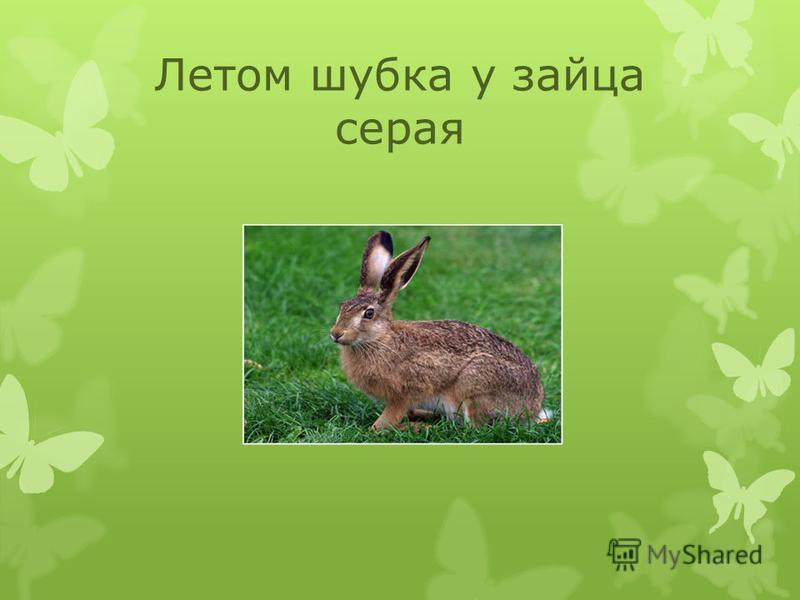 Летом шубка у зайца серая