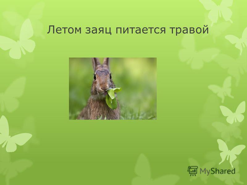 Летом заяц питается травой
