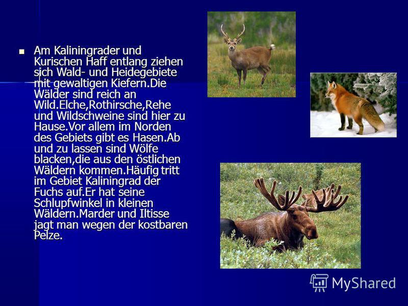Am Kaliningrader und Kurischen Haff entlang ziehen sich Wald- und Heidegebiete mit gewaltigen Kiefern.Die Wälder sind reich an Wild.Elche,Rothirsche,Rehe und Wildschweine sind hier zu Hause.Vor allem im Norden des Gebiets gibt es Hasen.Ab und zu lass