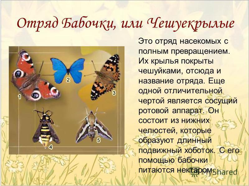 Отряд Бабочки, или Чешуекрылые Это отряд насекомых с полным превращением. Их крылья покрыты чешуйками, отсюда и название отряда. Еще одной отличительной чертой является сосущий ротовой аппарат. Он состоит из нижних челюстей, которые образуют длинный