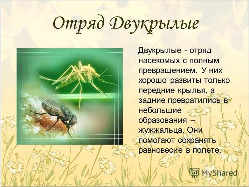 Отряд Двукрылые Двукрылые - отряд насекомых с полным превращением. У них хорошо развиты только передние крылья, а задние превратились в небольшие образования – жужжальца. Они помогают сохранять равновесие в полете.