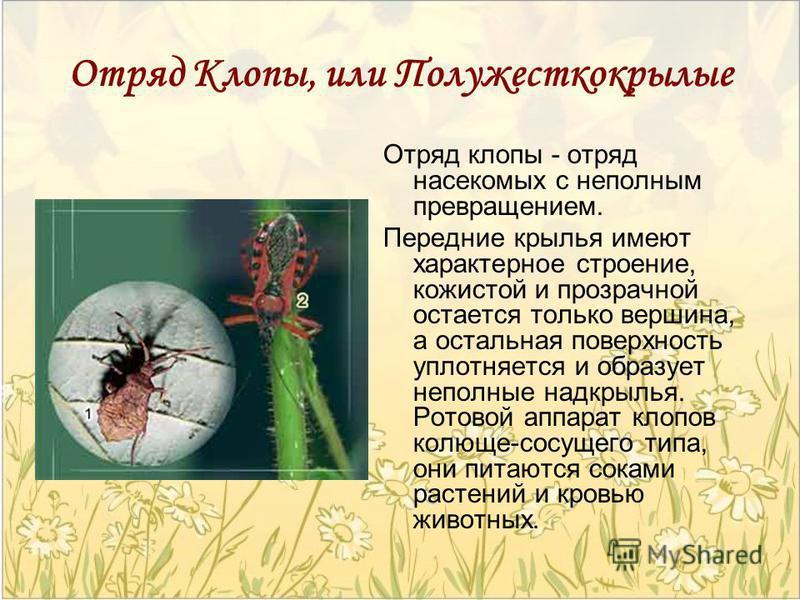Отряд Клопы, или Полужесткокрылые Отряд клопы - отряд насекомых с неполным превращением. Передние крылья имеют характерное строение, кожистой и прозрачной остается только вершина, а остальная поверхность уплотняется и образует неполные надкрылья. Рот