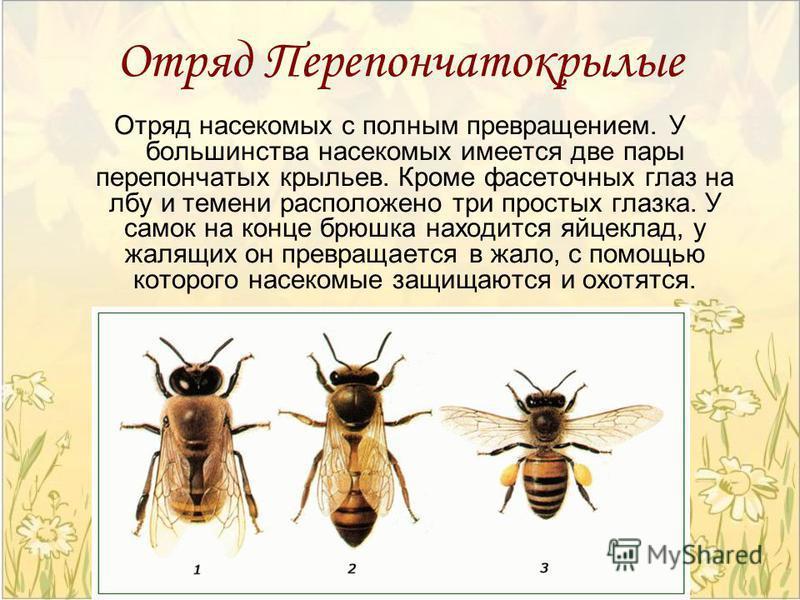 Отряд Перепончатокрылые Отряд насекомых с полным превращением. У большинства насекомых имеется две пары перепончатых крыльев. Кроме фасеточных глаз на лбу и темени расположено три простых глазка. У самок на конце брюшка находится яйцеклад, у жалящих