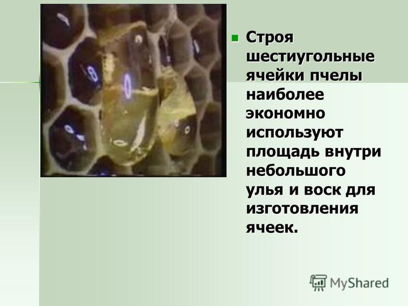 Строя шестиугольные ячейки пчелы наиболее экономно используют площадь внутри небольшого улья и воск для изготовления ячеек. Строя шестиугольные ячейки пчелы наиболее экономно используют площадь внутри небольшого улья и воск для изготовления ячеек.