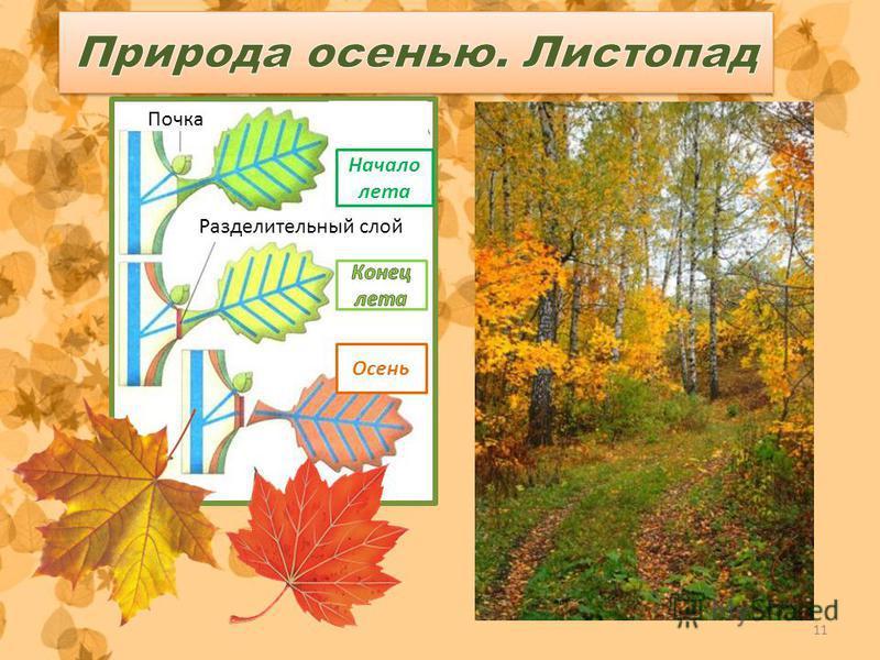 11 Почка Начало лета Разделительный слой Осень