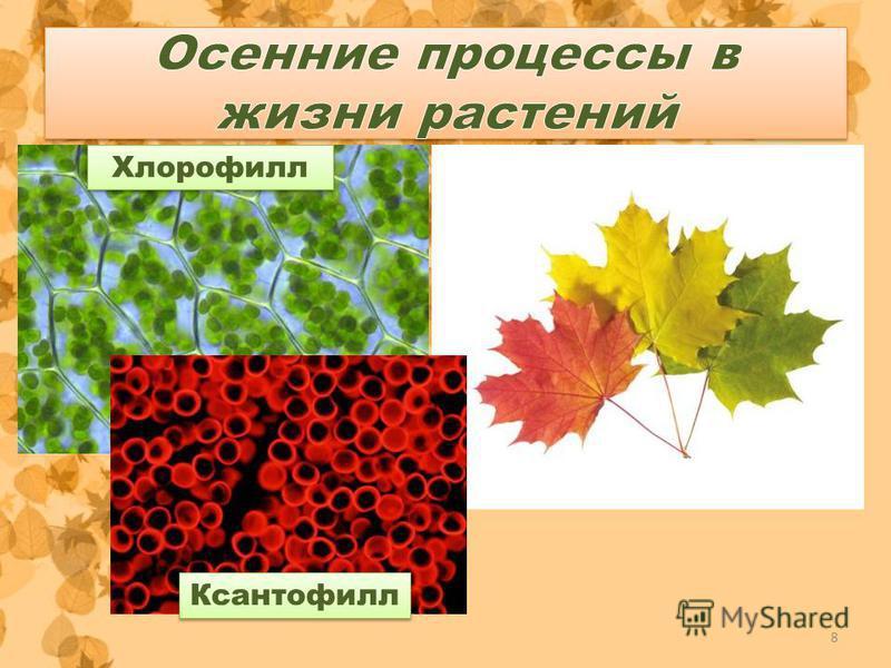 Хлорофилл Ксантофилл 8