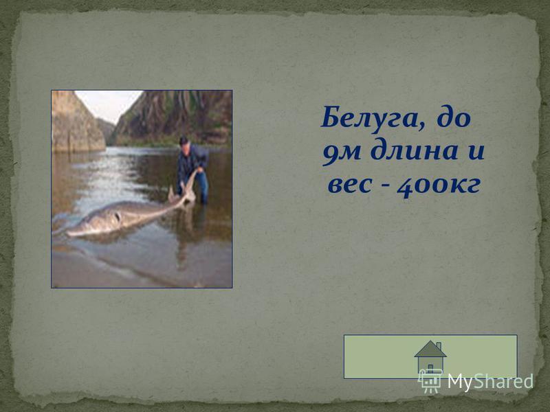 Белуга, до 9 м длина и вес - 400 кг