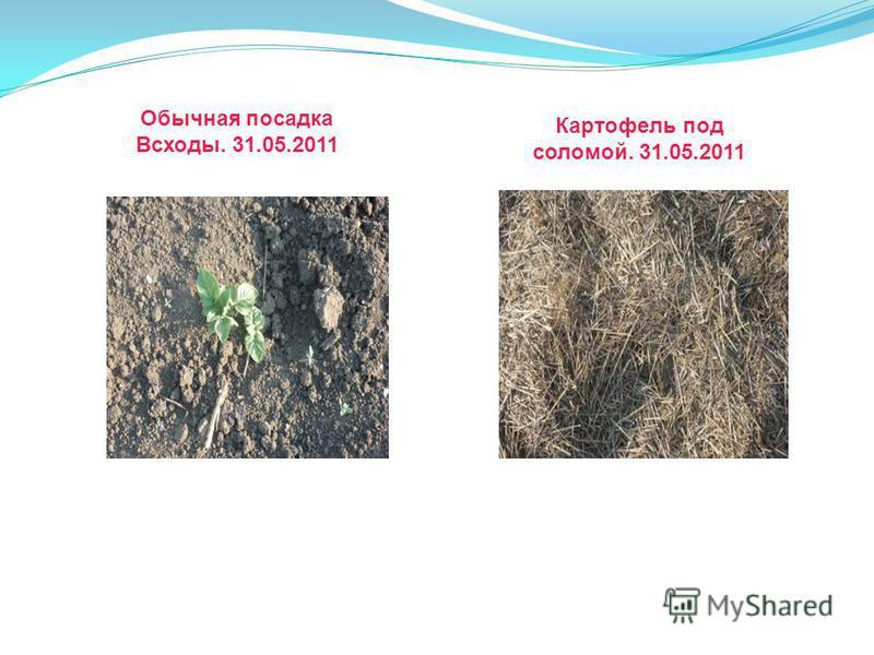 Обычная посадка Всходы. 31.05.2011 Картофель под соломой. 31.05.2011