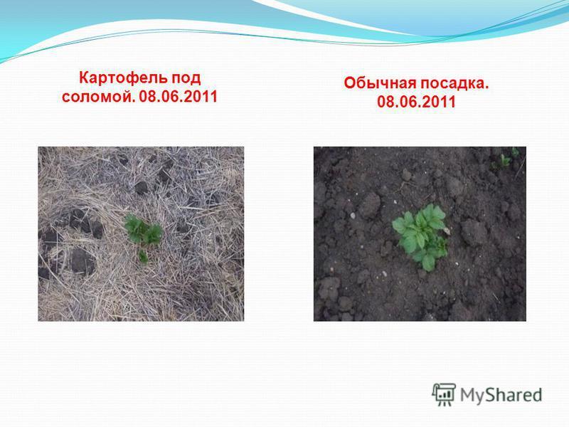 Картофель под соломой. 08.06.2011 Обычная посадка. 08.06.2011