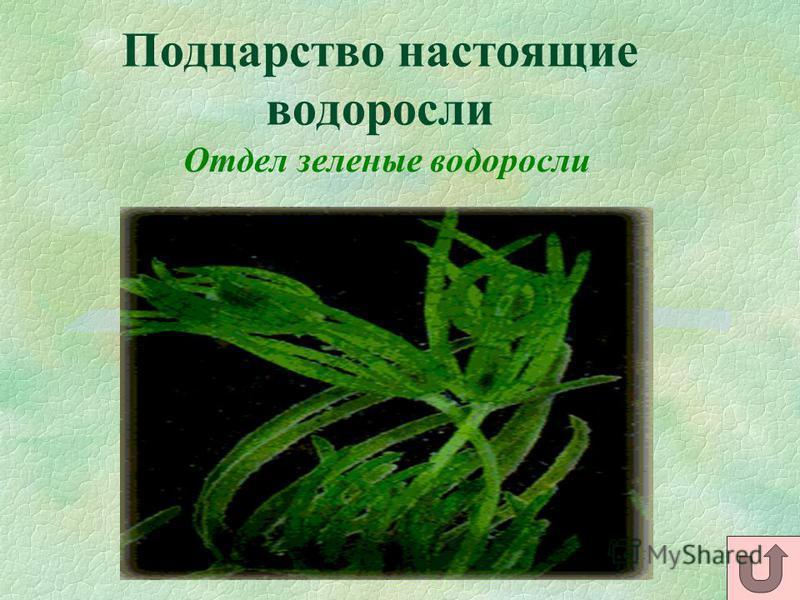 Подцарство настоящие водоросли Отдел зеленые водоросли