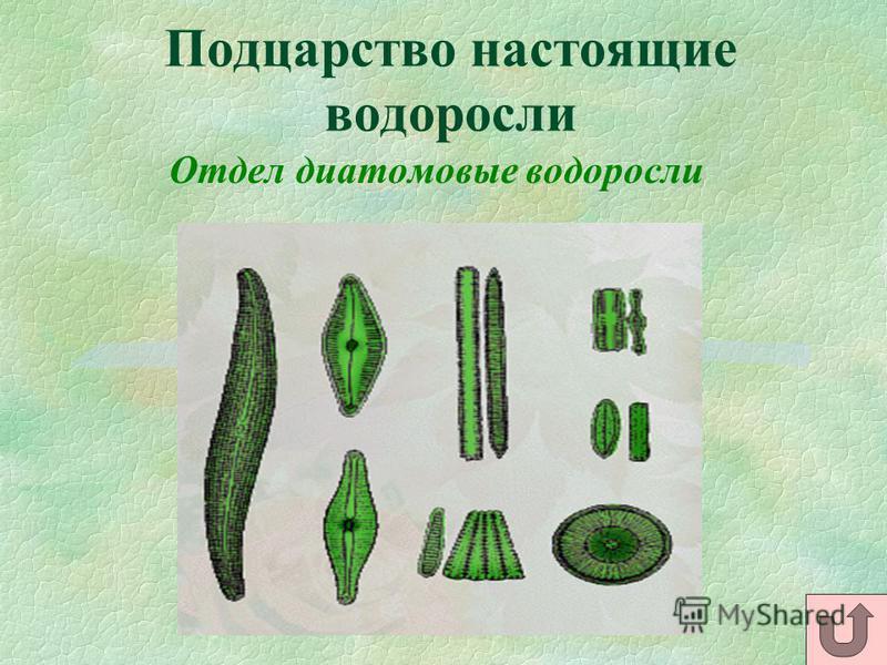 Подцарство настоящие водоросли Отдел диатомовые водоросли