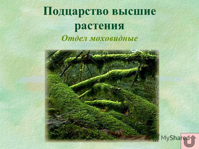 Подцарство высшие растения Отдел моховидные
