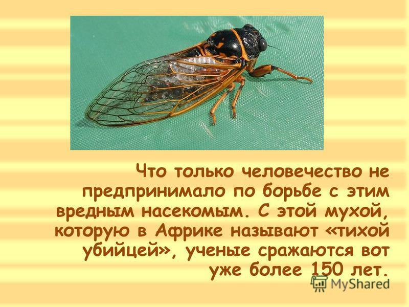 Что только человечество не предпринимало по борьбе с этим вредным насекомым. С этой мухой, которую в Африке называют «тихой убийцей», ученые сражаются вот уже более 150 лет.