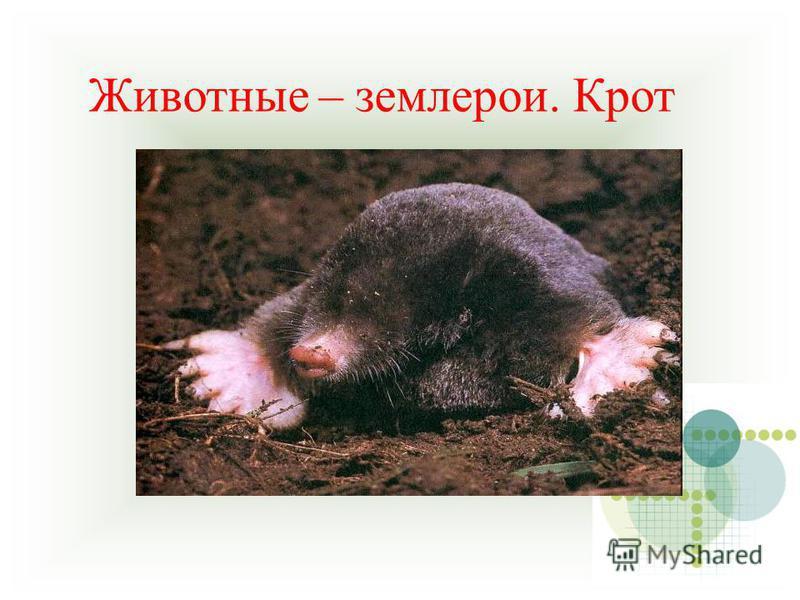 Животные – землерои. Крот
