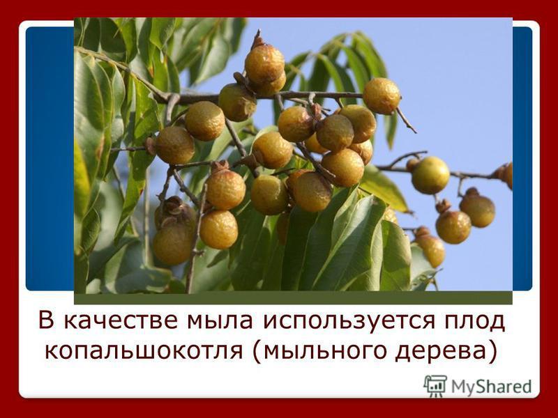 В качестве мыла используется плод копальшокотля (мыльного дерева)