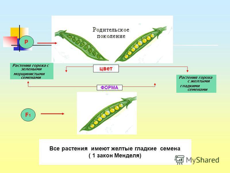 Растения гороха с зелеными морщинистыми семенами Растения гороха с желтыми гладкими семенами P цвет ФОРМА F1F1 Все растения имеют желтые гладкие семена ( 1 закон Менделя)