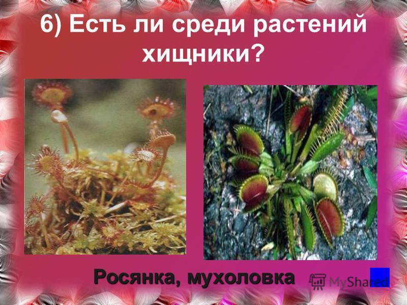 6) Есть ли среди растений хищники? Росянка, мухоловка