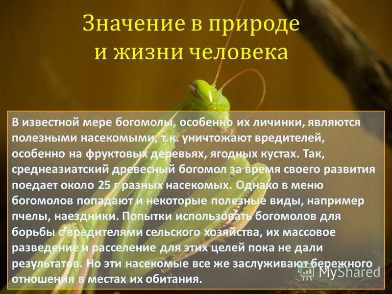 Значение в природе и жизни человека В известной мере богомолы, особенно их личинки, являются полезными насекомыми, т.к. уничтожают вредителей, особенно на фруктовых деревьях, ягодных кустах. Так, среднеазиатский древесный богомол за время своего разв