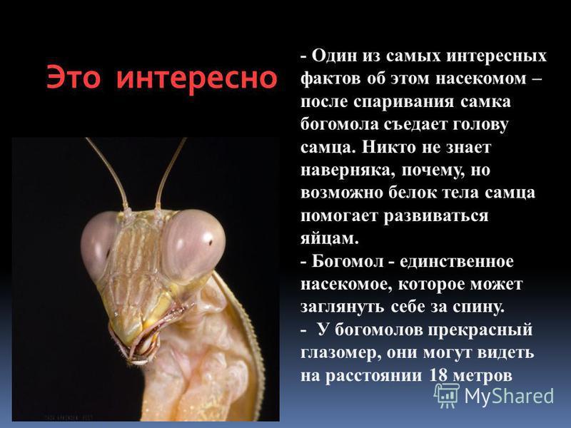 Это интересно - Один из самых интересных фактов об этом насекомом – после спаривания самка богомола съедает голову самца. Никто не знает наверняка, почему, но возможно белок тела самца помогает развиваться яйцам. - Богомол - единственное насекомое, к