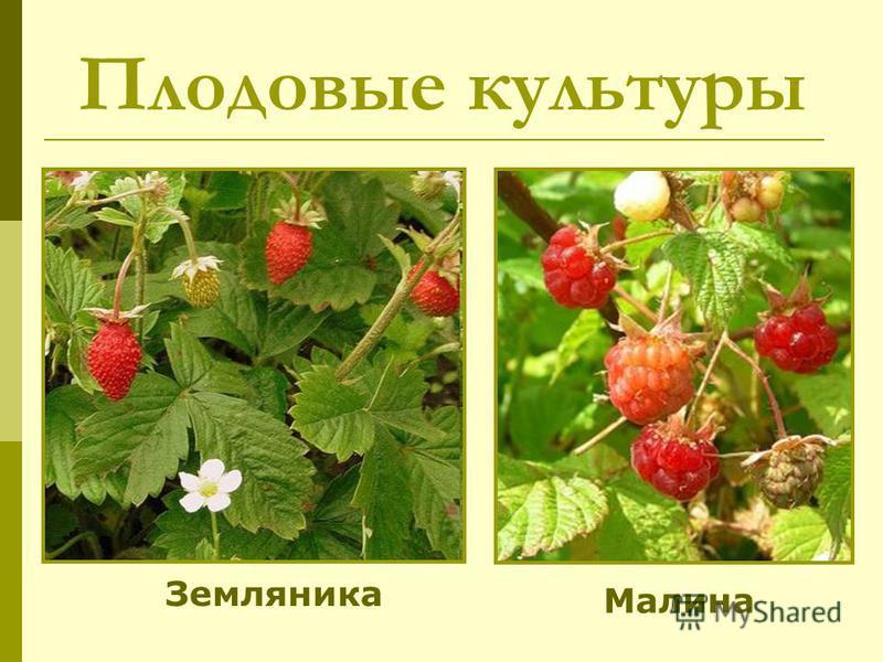 Плодовые культуры Земляника Малина