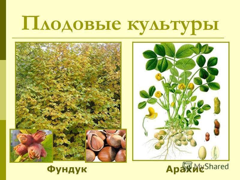 Плодовые культуры Фундук Арахис